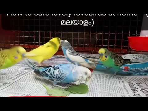 how to care love bird at home(malayalam)