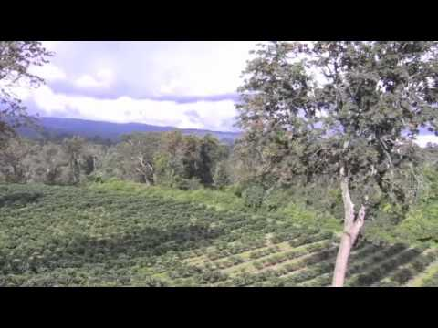 Coffee Plantation Machare - Tanzania