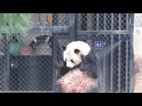Giant Panda Tian Tian's Very Cold Shower