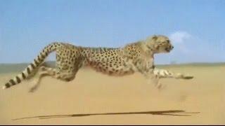 Гепард при нападении на жертву, может разогнаться до 120 км\ч.