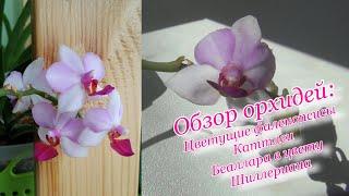 Обзор орхидей цветущие фаленопсисы каттлеи беаллара Шиллериана