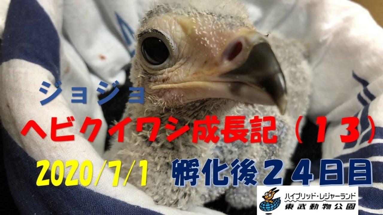 (LIVE) ヘビクイワシ 成長日記 2020/7/1 東武動物公園   Secretary bird artificial brooding