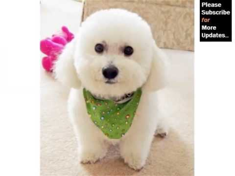 Bichon Frise Dog Breed | Dog Breed Bichon Frise Lovely Pics Collection
