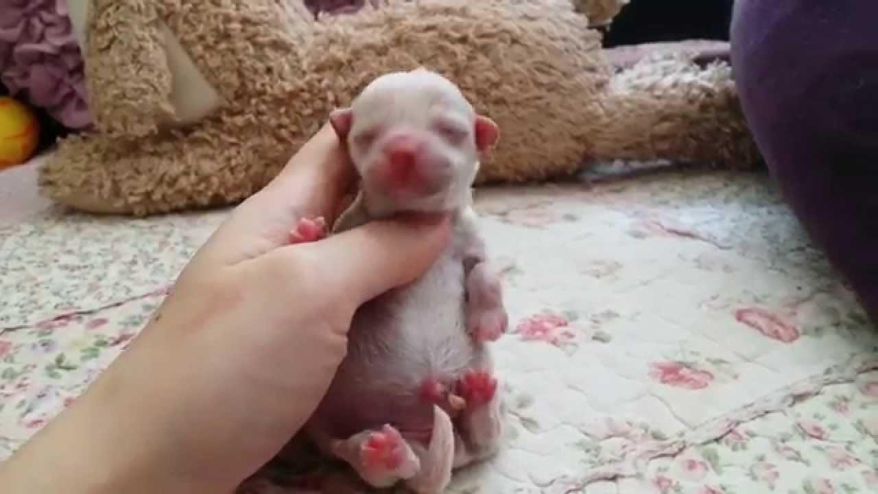 new born teacup white female poodle youtube
