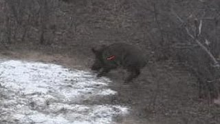 Huge Free range Hog with bow we call them wild boar, hogs, pigs, & Swine shot placement