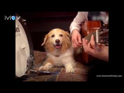 People dog gold partner playing Divine Comedy