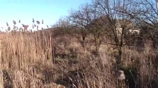 Охота на фазана в Днепропетровской области в 2013 году