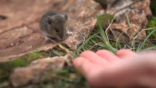 Wild Wood Mouse Lunching On Finger