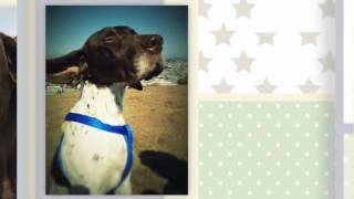 German Shorthaired Pointer Training Video