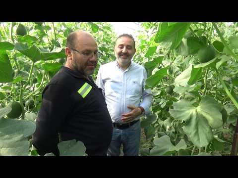 Kumluca - Örtüaltı  Turfanda Kavun Üretimi - Serada Kavun Yetiştiriciliği