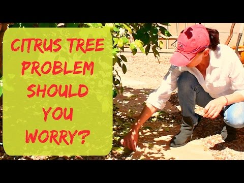 Citrus Tree Problems - Citrus Fruit and Blossom Drop