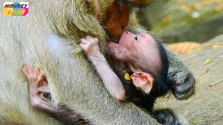 Oh! Why? Why Dana monkey don't want newborn baby milk her |Dana not a good mother |Monkey Daily 312 thumbnail