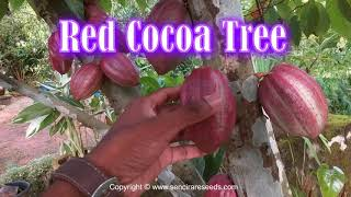 Red Cacao Tree, Theobroma cacao , Rare cocoa tree - how to make chocolate