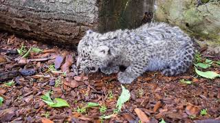 Malutki lampart urodzony w płockim zoo !
