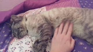 Нашли породистого кота|Клаус