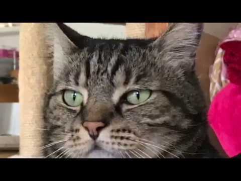 Two American-shorthair-silver-shaded-chinchilla Half-breeds and Two Cats with Boss #3