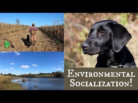 Labrador Retriever Puppy | First Time In The Cornfield and Pond