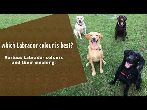 Types Of Labrador Colors & Their Roles | Dog Lovers