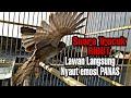 Pasti Langsung Panas Emosi Trucukmu Dengar Suara Garuda Ribut Trucukan Ini  Mp3 - Mp4 Download