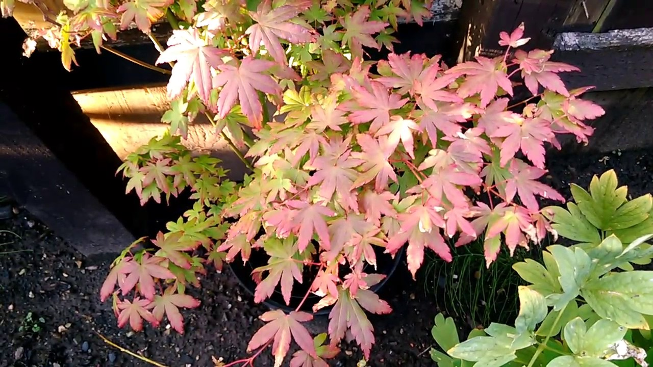 Acer Tsukasa Silhouette Japanese Maple 24th July 2017 Youtube