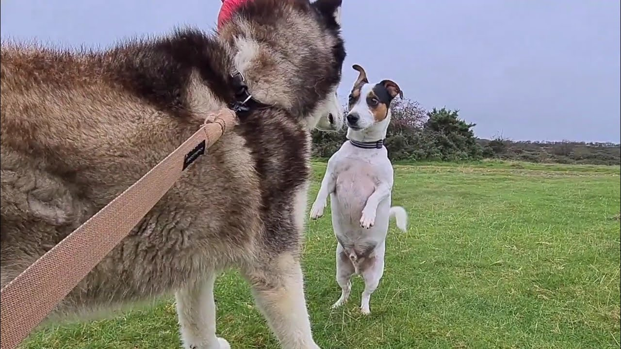 Download Little dog stands up to a Huge Husky | The dog that Loves everyone