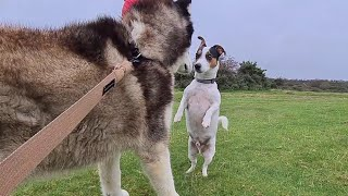 Little dog stands up to a Huge Husky   The dog that Loves everyone