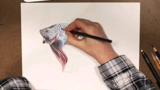 Mike the Betta - Prismacolor Pencils