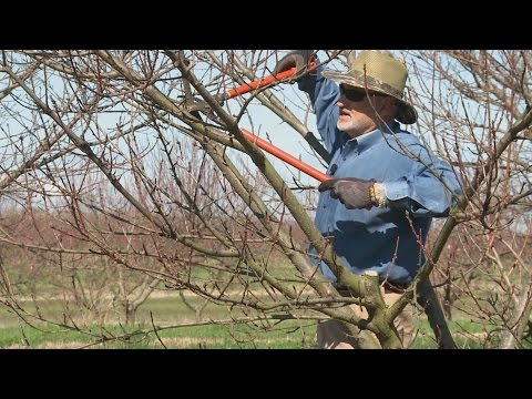 Pruning Nectarines, Peaches, and Plums - Family Plot