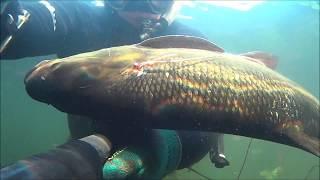 Подводная охота 2017- Жерех на 5 кг и сомик в ловушке.