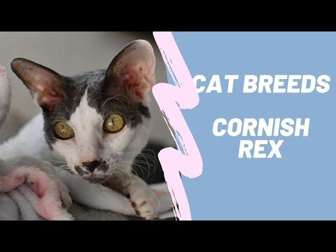 CORNISH REX  CAT BREEDS