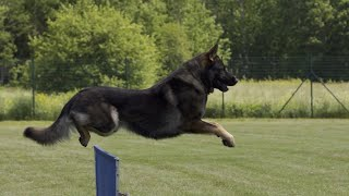 German Shepherd Dog | The main 3 types of working line GSD's