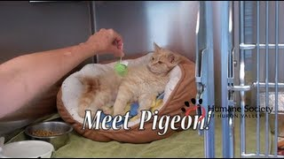 Meet Pigeon, a sweet little fluffy cat looking for a home.