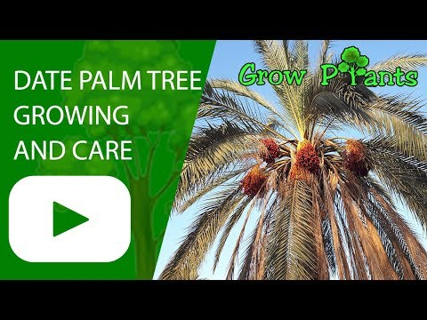 Date Palm Tree - Growing And Care