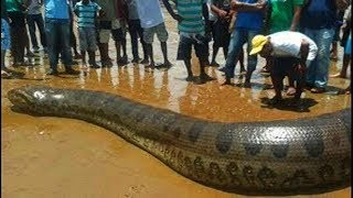 Excavator Catch Big Snake Anaconda at a construction site Anaconda the longest known extant snake