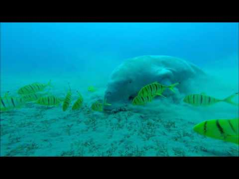 grazing dugong Manatee sea cow
