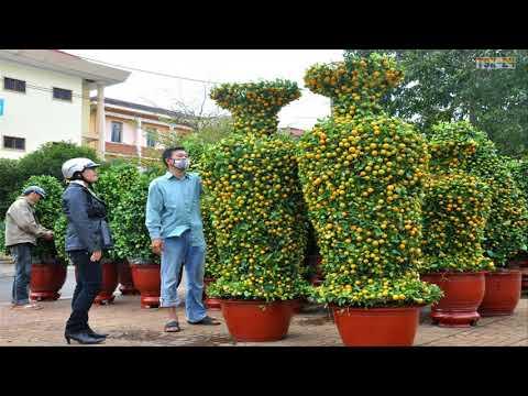 WOW! Amazing Agriculture Technology - Kumquat
