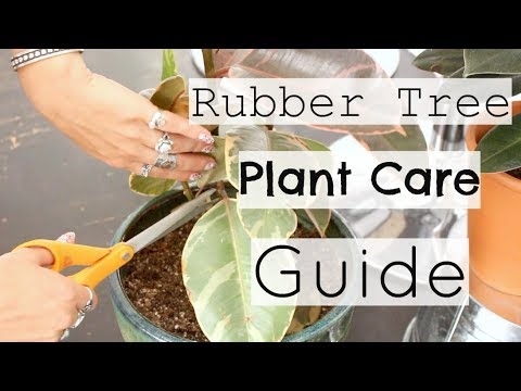 10 Tips to Take Care of A Rubber Plant | How To Care For A Rubber Tree Houseplant