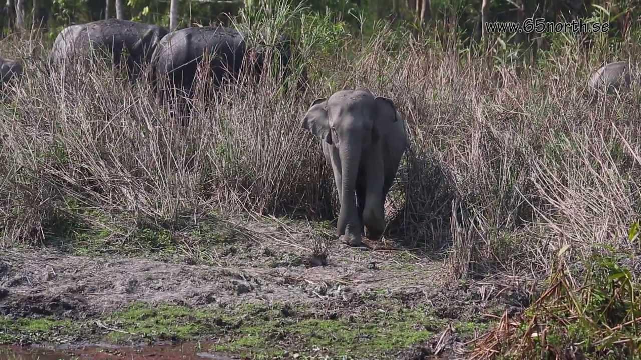 Wildlife of India, Kaziranga National Park, Assam India