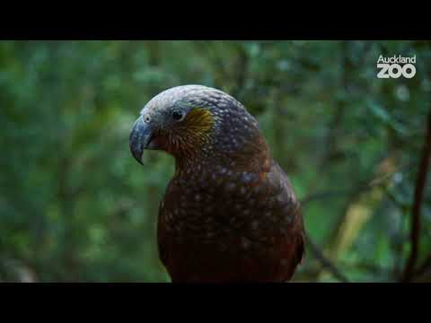 A Tour of Te Wao Nui at Auckland Zoo