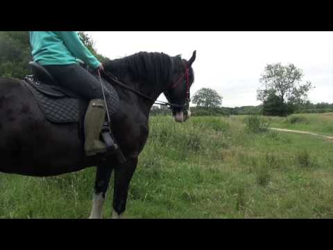 Shire horse riding - backing and hacking a young heavy horse