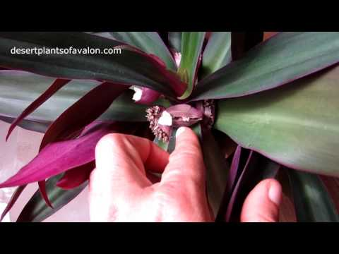 Our Tradescantia spathacea Exotic House Plant in beautiful flower