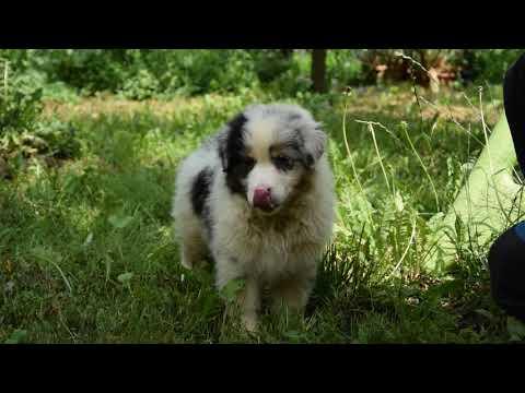 Toby - Australian Shepherd Puppy