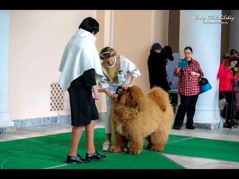 Выставка собак. Часть 1. Тибетские мастифы. Киев, февраль 2020.  TibetanMastiff. Dog Show