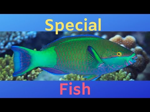 This Sex-Bending Rainbow Fish Poops Sand While Saving Coral Reefs
