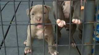 New Pitbull Puppies 4 Week Old Blue Nose