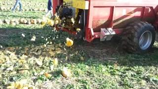 Zbiór pestek dyni/ Pumpkin Seed Harvester, Moty + Case CVX 175