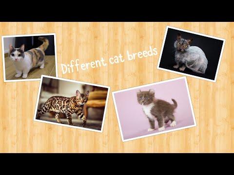 Cat breeds! (Over 100)
