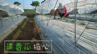 農事│ 洋香瓜摘心(Take the heart of vine from the Cantaloupe)