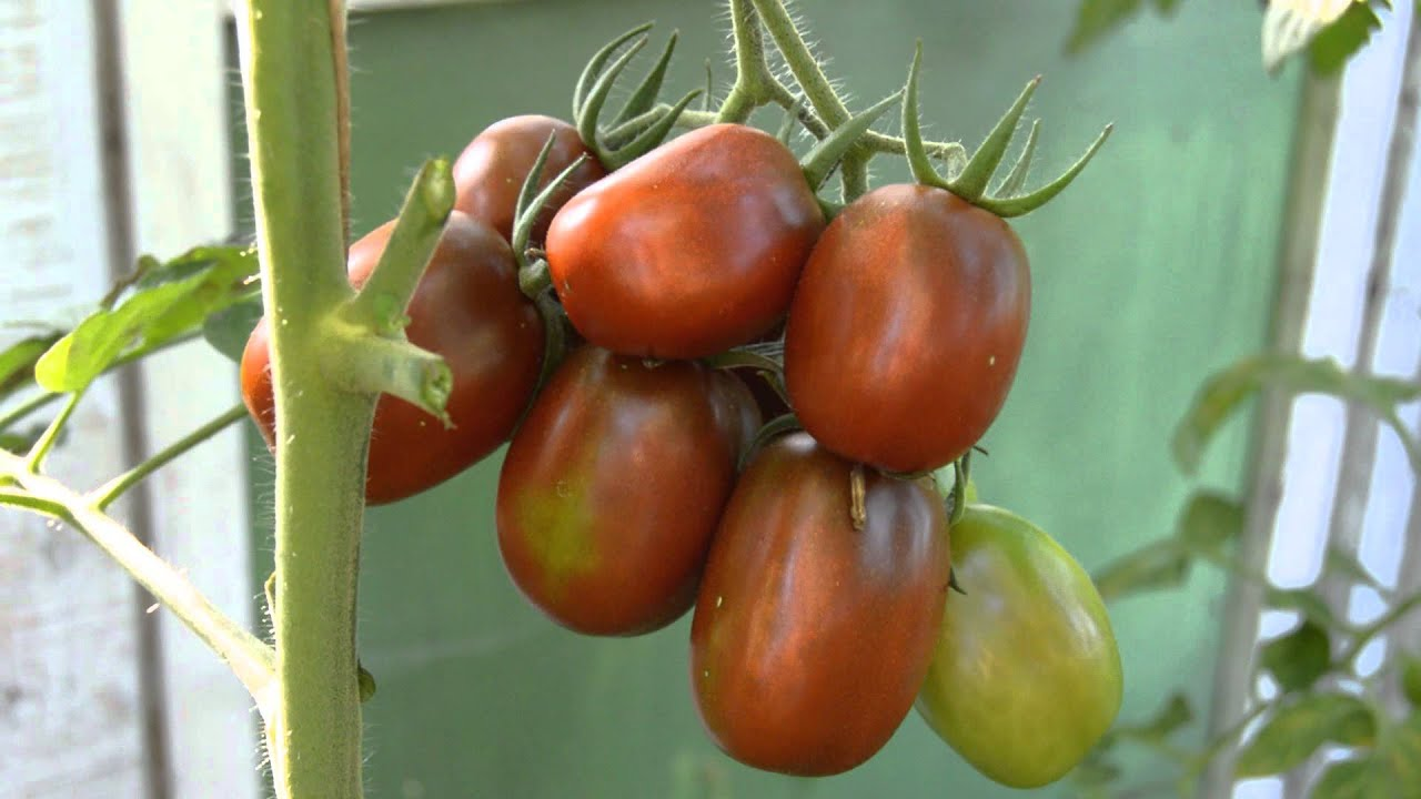 Томат Пинк Мани F1 - Quality Seeds. Обзор. - YouTube