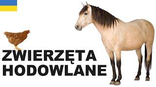 Польська для початківців - Cвійські тварини 1 (Zwierzęta hodowlane)